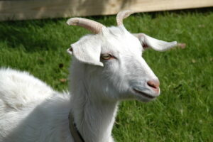 Google rents goats for mowing grass